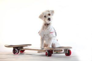 Heller weisser Hund traegt T-Shirt mit Aufdruck, im Vordergrund steht ein Spielgeraet, Waveboard