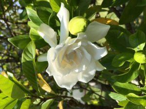 gardenia.Gayle
